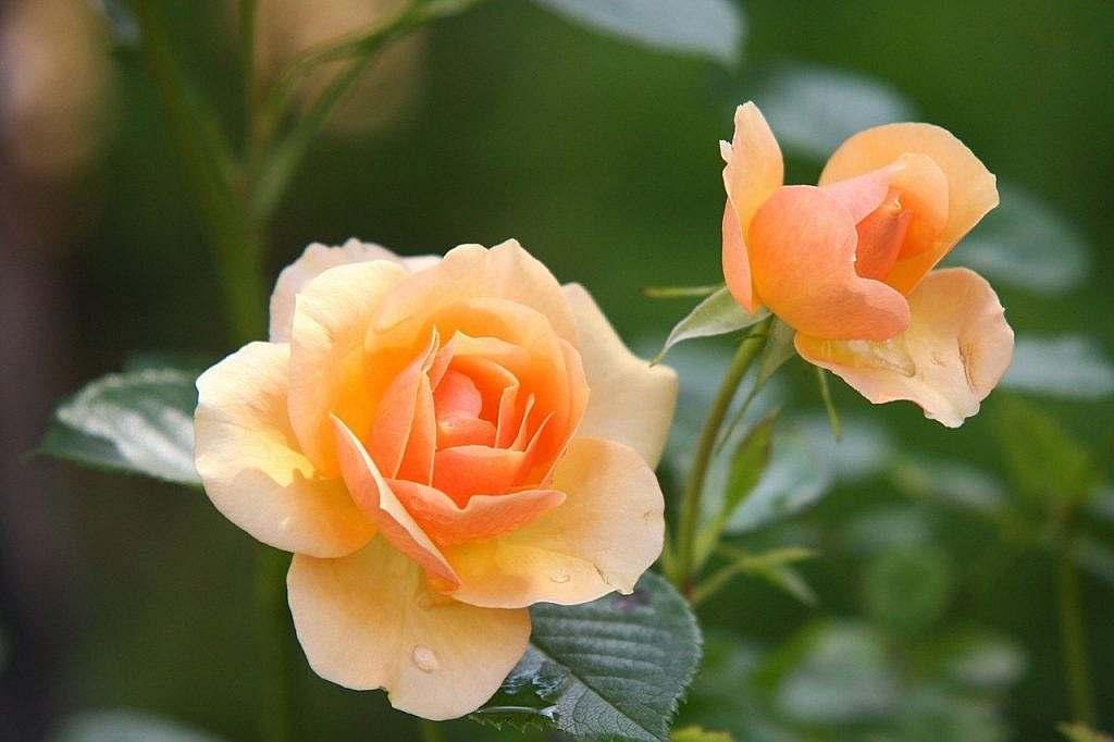 Deutsch-Türkisches Sprichwort zur Rose / Gül
